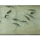 【魚類:試験用生物】医薬品の基礎研究事例